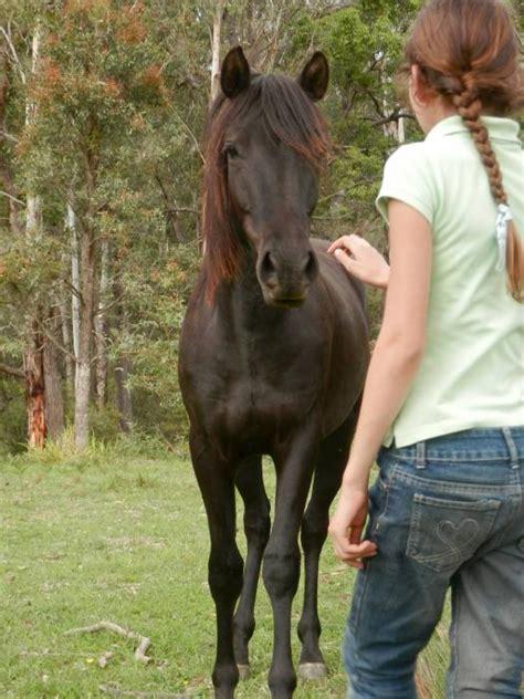 morgan gelding horses rising stunning friendly horsezone horse