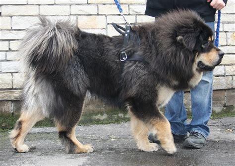 Mastim Tibetano Wikipedia A Enciclopedia Livre