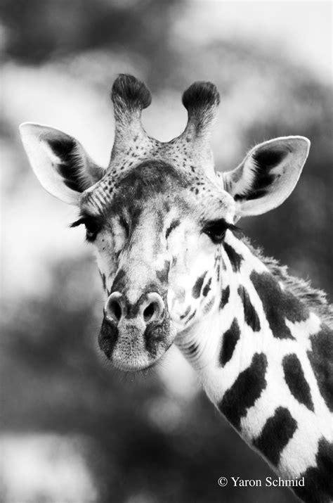 Giraffes — YS Wildlife Photography