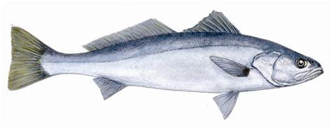 sea bass fish sea bass driverlayer search engine
