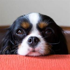 Why you shouldn't feed your dog people food | Cavalier ...