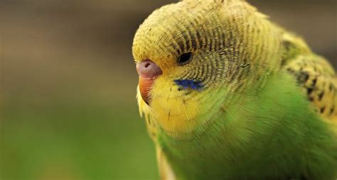 budgie wallpapers images  pictures backgrounds