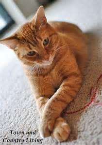 tabby cat orange our kitten albie grows up