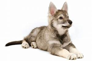 Personality Traits of a Tamaskan Dog You'd Want to Know About