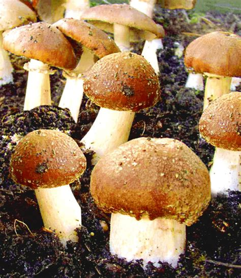 Pilze Im Garten Ernten by Garten Pilze Braunkappen Set 1a Qualit 228 T Baldur Garten