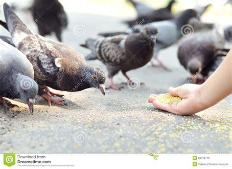 feeding birds stock photo image of road dove urban