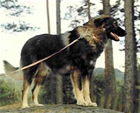 estrela mountain dog  portugese mountain dog