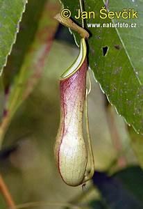 Pitcher plant Pictures, Pitcher plant Images   NaturePhoto