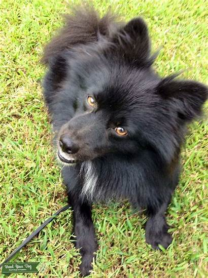 Pomeranian Purebred Ckc Stud Dog Breed Close