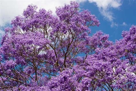 winter bloemen australie jacaranda boom bloemen 183 gratis foto op pixabay