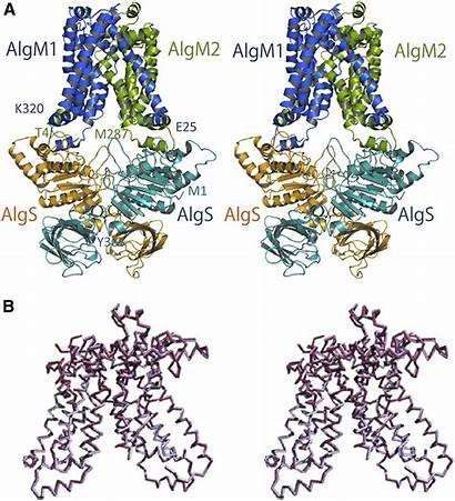 Structure Alginate Acidic Polysaccharide Bacterial Transporter Involved