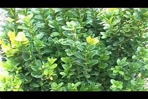 Orchideen Klebrige Blätter : video buchsbaumfloh so werden sie den sch dling los ~ Whattoseeinmadrid.com Haus und Dekorationen