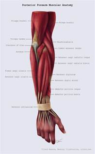 Posterior Forearm Muscle Anatomy