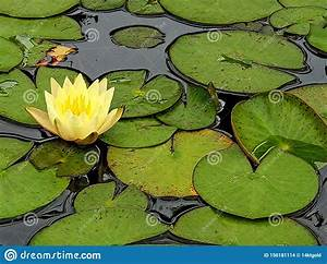 Yellow Water Lily With Leaves Stock Photo