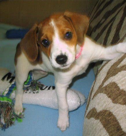 Jackabee Jack Russell Terrier Beagle Mix Info Puppies