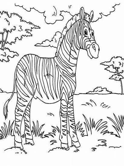 Coloring Animals Rainforest Pages Zebra Animal Drawing