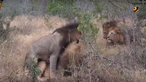 lion king male lion mating
