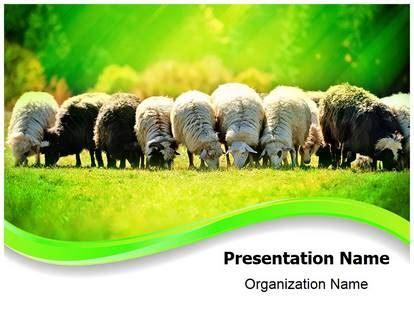 livestock flock sheep powerpoint template background