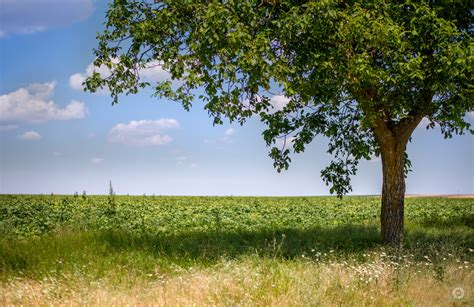 Tree Backgrounds by Countryside Fields And Green Tree Background High