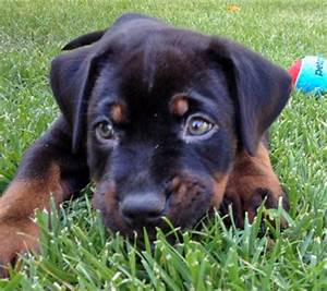 Images Of Rottweiler Pitbull Mix Puppies Golfclub