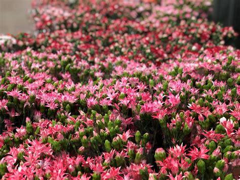 fiori ricanti resistenti al freddo 5 fiori resistenti al freddo per il cimitero lombarda flor