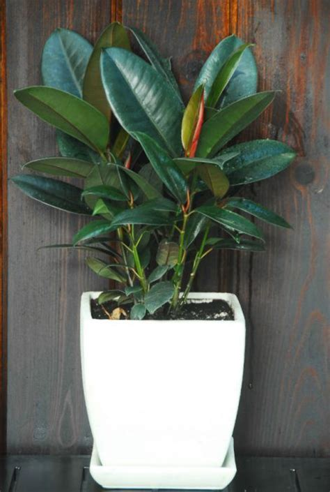 Rubber Plant (Small)   Plant Decor   Toronto's Indoor