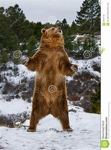 Grizzly stock photo. Image of angry, animal, growling ...