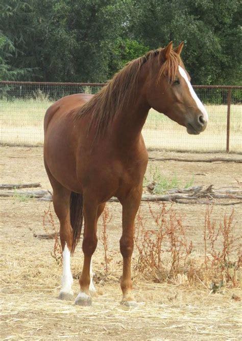 morgan horse horses
