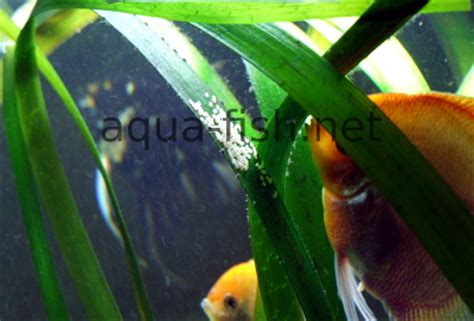 freshwater angelfish a guide and forums on care