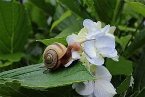 Was Fressen Schnecken : hortensien von schnecken befallen so werden sie sie los ~ Orissabook.com Haus und Dekorationen
