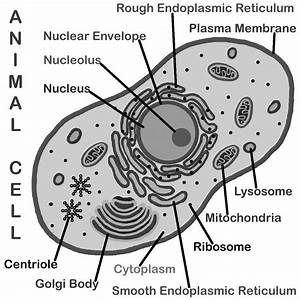 Plant Cell Coloring Diagram  Plant  Free Engine Image For