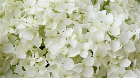 White Flowers Hydrangea Annabelle · Free photo on Pixabay