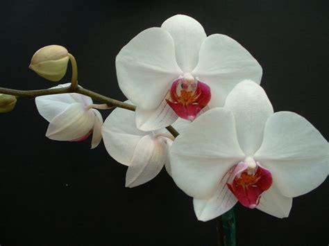 duree de vie d une orchidee en pot entretien orchid 233 e apprendre 224 bien s occuper d une orchid 233 e