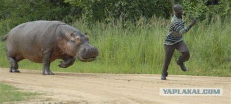 dumpertnl nijlpaard  boos