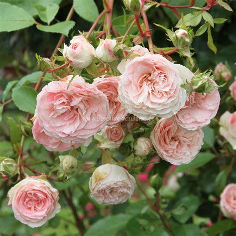 Mini Eden Rose Rosen Online Kaufen Im Rosenhof