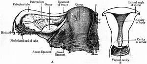 File Eb1911 Reproductive System  In Anatomy