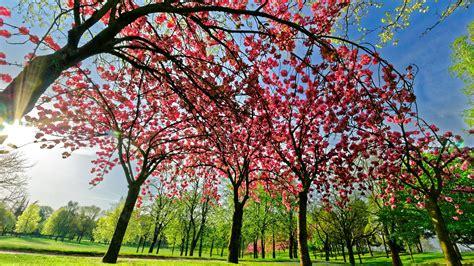 Primavera 4k Wallpapers by Wallpaper Tree Flowers Pink Bloom Green Grass