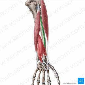 Deep Flexors Of The Forearm  Anatomy And Innervation