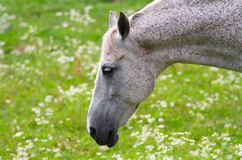 magengeschwuere pferd symptome ursachen fuetterung ewalia