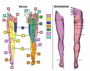 Dermatomes Leg | www.pixshark.com - Images Galleries With ...