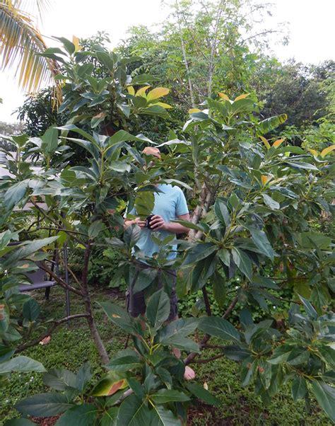 how does a tree take to grow how long does an avocado tree take to grow fruit beatiful tree
