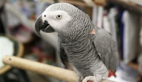 Papagalii Africani Gri Au Capacitatea De Gândire A Unui