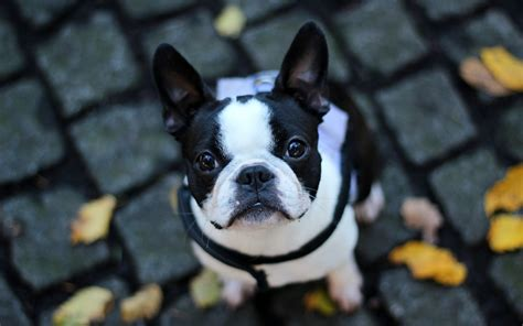 french bulldogs wallpapers  wallpapersafari