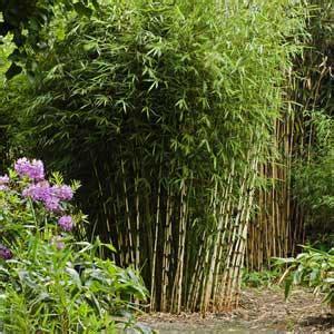 fargesia robusta bambou non envahissant id 233 al pour haie au soleil moneden