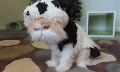 Cat Costume Panda Halloween Gifs Pets Giphy