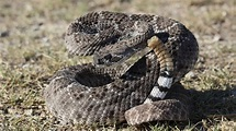 Western diamondback rattlesnakes frequently encountered in ...
