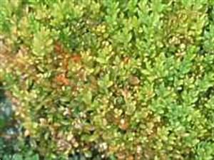 Rasen Wird Braun : buchsbaum krankheiten buchs pilz buchsbaum bl tter braun ~ Frokenaadalensverden.com Haus und Dekorationen