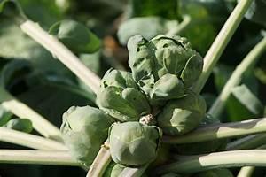 Stickstoffmangel Bei Pflanzen : rosenkohl selbst pflanzen mit videotipp garteln ~ Lizthompson.info Haus und Dekorationen