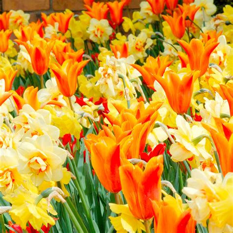 tulip narcissus bulbs fireworks collection container