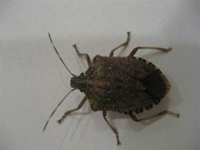 Beetles That Look Like Bed Bugs